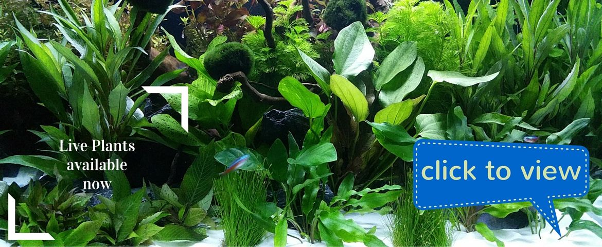Aquarium Live Plants available now